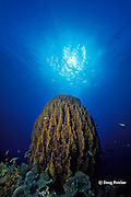 giant barrel sponge, Xestospongia muta, St. Kitts ( Caribbean Sea )