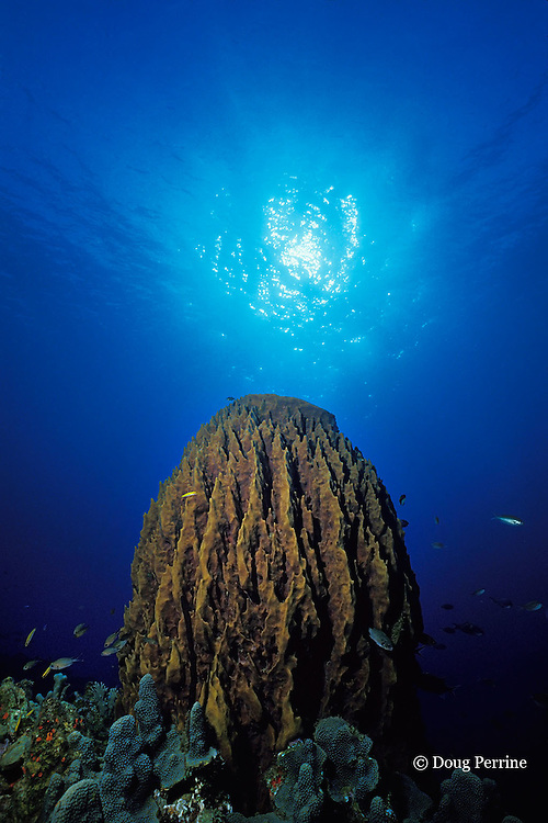 giant barrel sponge, Xestospongia muta, St. Kitts ( Caribbean Sea )