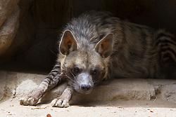 Striped Hyena (Hyena hyena dubbah), in a rocky den, San Diego Zoo, San Diego, California, United States of America