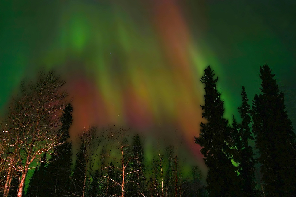 Red and green northern lights flash above well lit birch and spruce trees in Fairbanks.