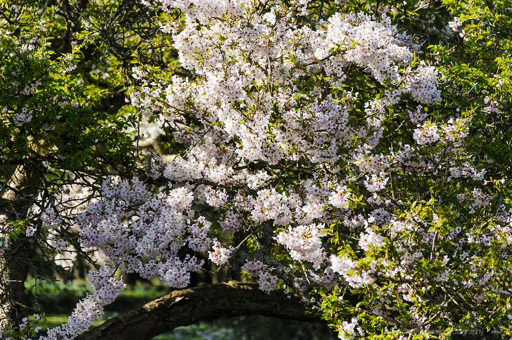 Cherry Blossoms at the Botanic Gardens - Botanic Gardens, Dublin