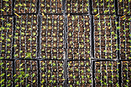 Young scots pine seedlings growing in seed trays at Trees For Life's nursery on Dundreggan Estate.