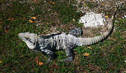07 Feb 2014. Cancun, Mexico.<br /> An Iguana at Isla Cancun along the Zona Hotelera on the Carribean Sea. <br /> Photo; Charlie Varley/varleypix.com