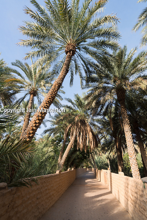 Date palm tees at Oasis in Al Ain United Arab Emirates
