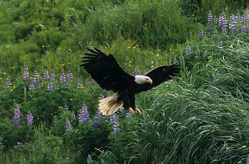 Bald Eagle, (Haliaeetus leucocephalus)  Adult landing in flowers. Aleutian Islands. Alaska.