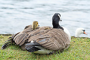 © Licensed to London News Pictures. 26/05/2014. Hampton Wick, UK. One of the gosling peeks out of the mothers protective wing to watch a swan swim by.  A mother Canadian goose protects her young goslings from heavy bank holiday rain on the banks of the River Thames at Hampton Wick today 26th May 2014. Photo credit : Stephen Simpson/LNP