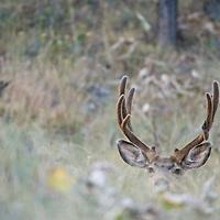mule deer buck with broken tine point bedded in grass