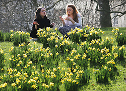 Two friends enjoy a picnic lunch amongst the daffodil's during the warm spring weather in St.James's Park, London, Friday, 7th March 2014. Picture by Stephen Lock / i-Images