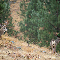 trophy mule deer bucks on ridge pine forest