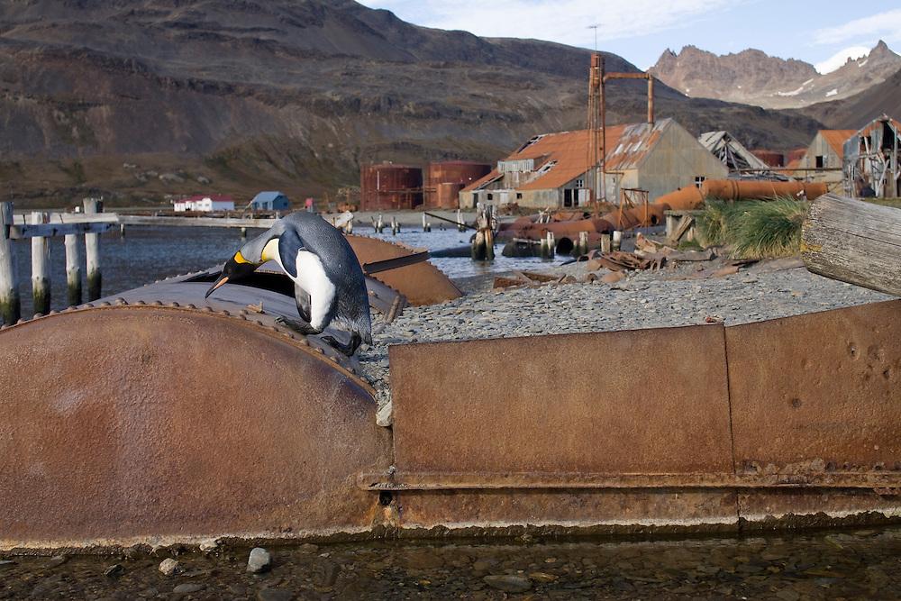 Antarctica, South Georgia Island (UK), King Penguin (Aptenodytes patagonicus) climbing atop rusting tank littering shoreline at abandoned Husvik whaling station along Stromness Bay