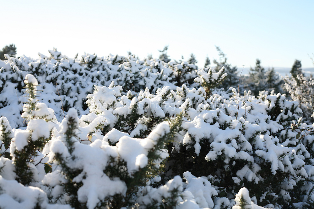Snow covered gorse on Dalkey Hill Dublin Ireland November 2010