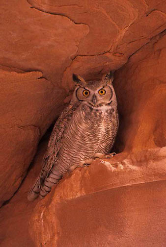 Great Horned Owl, (Bubo virginianus) In Slot Canyons of northern Arizona.