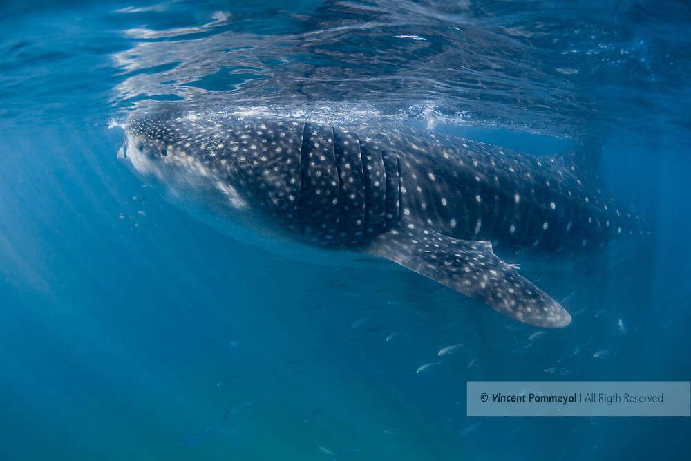 Whale shark - Requin baleine (Rhincodon typus), Yucatan peninsula, Mexico.