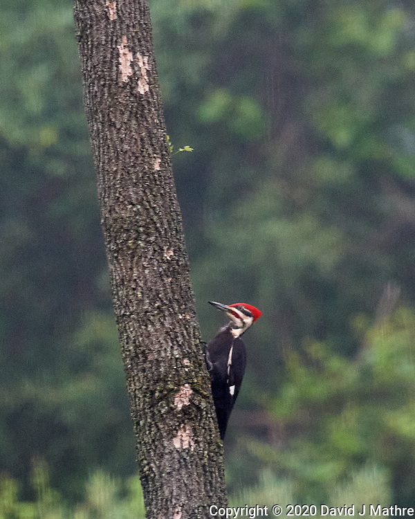 Pileated Woodpecker. Image taken with a Nikon D5 camera and 600 mm f/4 VR lens (ISO 1600, 600 mm, f/5.6, 1/320 sec).