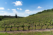 sprouting vineyard during spring time in Occitanie region Aude France