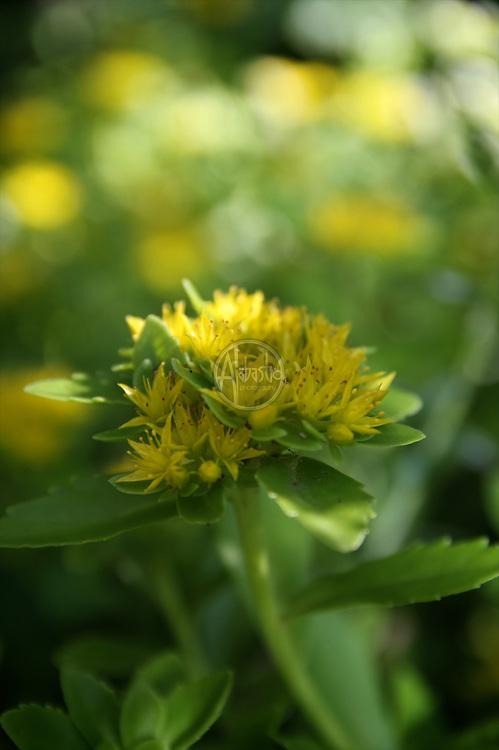 Flowers at home, July 2012. Sedum.