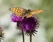 Orange butterfly on pink/magenta Knapweed (Centaurea) flower, in Trift Valley, Zermatt, Pennine Alps, Switzerland, Europe.