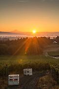 Sokol Blosser 2013 harvest, Dundee Hills, Willamette Valley, Oregon