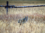 A Coyote looks back at the camera as it slips into a new field inside Grand Teton National Park. Coyote population has taken a hit ever since the Wolf was reintroduced. Wolves will kill any Coyotes they come across as unwelcome competition.