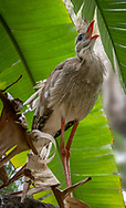 The red-legged seriema prefers grassland habitat to any other. Though it likes to inhabit lush meadows near rivers, it will not readily move into wetlands or crop fields.  It is usually seen singly or in pairs, but sometimes in groups up to four, apparently families.