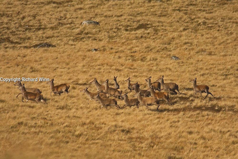 A herd of red deer lit by the afternoon sun in the Scottish Highlands