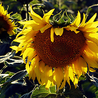 Sunflower plants in the Spanish village of Morales del Vino, Zamora province, on July 22, 2001. Photo Rafa RIVAS