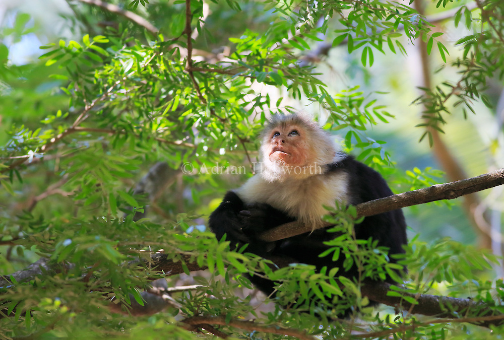 White-faced capuchin monkey (Cebus capuccinus). Palo Verde National Park, Guanacaste, Costa Rica. <br />