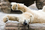 A polar bear stretches out at the San Diego Zoo