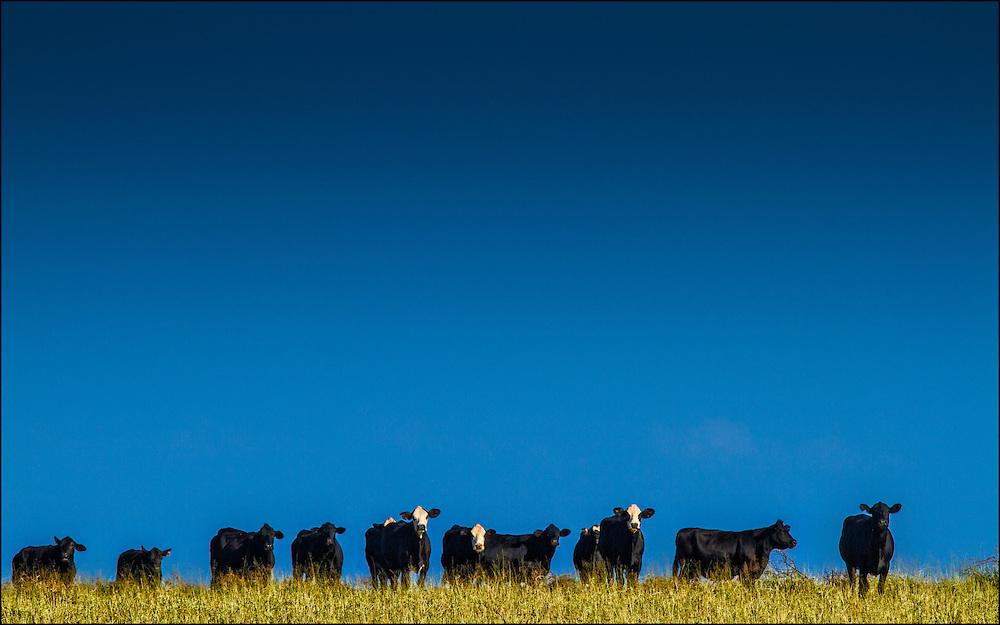 Cows in Maunaloa pasture, Molokai, Hawaii