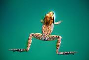 Frog floating on green pond.