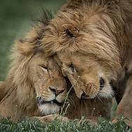 Lion Brothers<br />