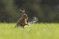 Brown Hare (Lepus capensis) shaking water from front paws