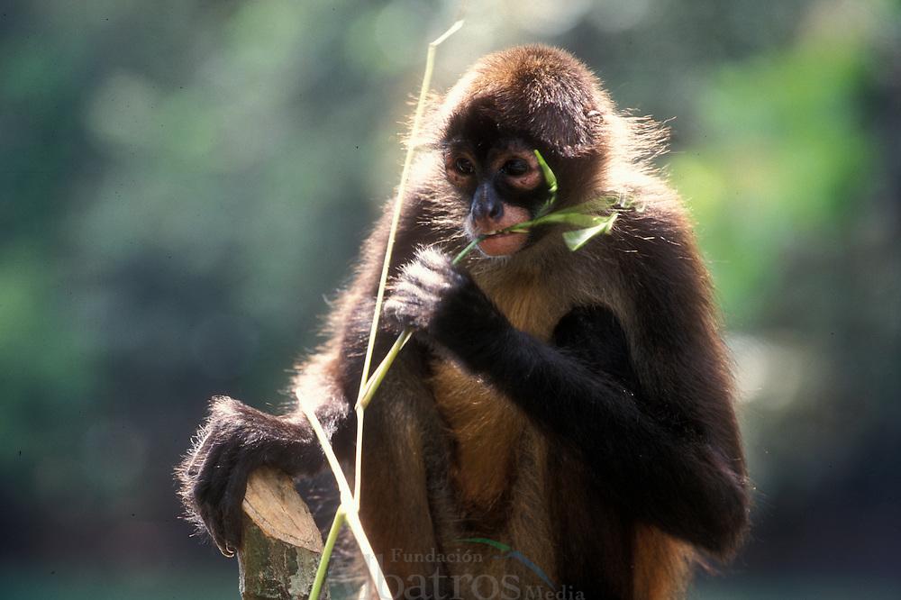 El Mono ara&ntilde;a, tambi&eacute;n llamado coat&aacute;, es el nombre que reciben los monos del g&eacute;nero Ateles, caracterizados por sus miembros largos y su extraordinaria agilidad. El cerebro del mono ara&ntilde;a es grande y tiene cierta semejanza con el de los monos superiores del Viejo Mundo. El cuerpo del mono ara&ntilde;a est&aacute; cubierto por un pelaje gris-amarillento, negro, pardo o casta&ntilde;o, que es m&aacute;s claro en las partes inferiores y los ojos est&aacute;n bordeados por un anillo blanco que les confiere un aspecto caracter&iacute;stico.<br /> <br /> Viven en Am&eacute;rica Central y del Sur desde el sur M&eacute;xico hasta el r&iacute;o Tapajos en la Amazonia brasilera. Son primordialmente arb&oacute;reos, cumplen la mayor parte de sus actividades en las densas cubiertas de los bosques y selvas lluviosos y tupidos donde habita.<br /> <br /> Viven en grupos territoriales de 6 a 30 individuos, que comparten un &aacute;rea de 90 a 250 hect&aacute;reas y buscan comida en los &aacute;rboles durante el d&iacute;a, a una altura promedio de 15 m, en subgrupos de 2 a 8 monos. <br /> <br /> Se alimentan de frutos, semillas, hojas, cortezas y madera. Como caso raro entre primates, las hembras tienden a dispersarse en la pubertad para unirse a grupos diferentes, mientras los machos permanecen en su grupo original. Las hembras escogen una pareja del grupo. <br /> <br /> En Panama se pueden encontrar ocho diferentes especies de primates, de los cuales varios son considerados end&eacute;micos.<br /> <br />  &copy;Alejandro Balaguer/ Fundacion Albatros Media