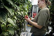 Nederland, Bemmel, 31-3-2005..Herman Wijffels, voorzitter van de sociaal economische raad, SER, en lid van het innovatieplatform, opende in Bergerden de jaarlijkse manifestatie Kom in de kas. Hier zijn een tiental grote, nieuwe, hypermoderne tuinbouw bedrijven in bedrijf genomen...Verregaand geautomatiseerd, deels biologisch en energie zuinig. Kastuinbouw, economie, innovatie, vernieuwing...Veel Poolse werknemers, arbeidskrachten, personeel, uitzenkrachten werken hier. In deze kas wordt paprika gekweekt. Arbeidsmigratie uit Polen, tijdelijke werkvergunning, werkgelegenheid, arbeidsethos. personeelstekort werkloosheid, CWI...Vaak worden zij geworven door een uitzendbureau, uitzendburo, in Polen zelf...Foto: Flip Franssen/Hollandse Hoogte