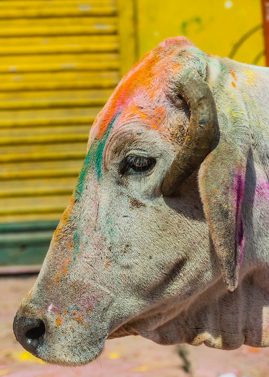 Holi Festival celebration (Festival of Colors), Vrindavan, near Mathura, Uttar Pradesh, India.