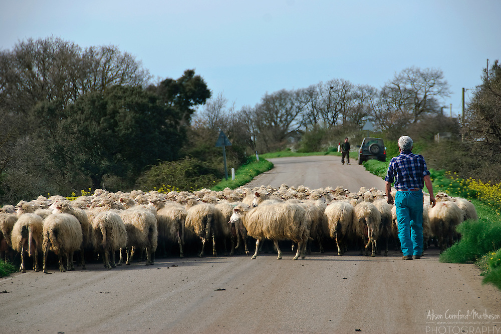 A Shepherd herds his flock of sheep down a road in Sardinia.
