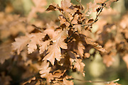 Close up brown leaves in winter on Quercus Robur oak tree, Suffolk, England