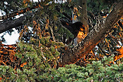 A bald eagle chick (Haliaeetus leucocephalus) that is just over one month old looks over the edge of the nest. The juvenile eagle spent several more weeks flapping its wings inside the nest before it took its first flight.