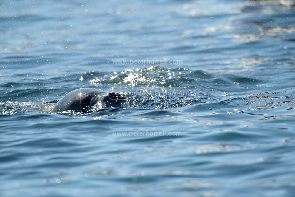 A Leopard seal surfaces near Esperanza Station on Thursday 15 February 2018.
