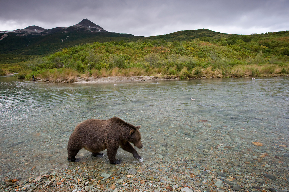 USA, Alaska, Katmai National Park, Kinak Bay, Brown Bear (Ursus arctos) hunting for spawning salmon in stream on autumn evening