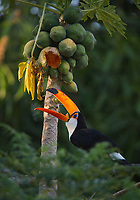 A toco toucan, Ramphastos toco, feeding on papaya in the Pantanal region of Brazil.