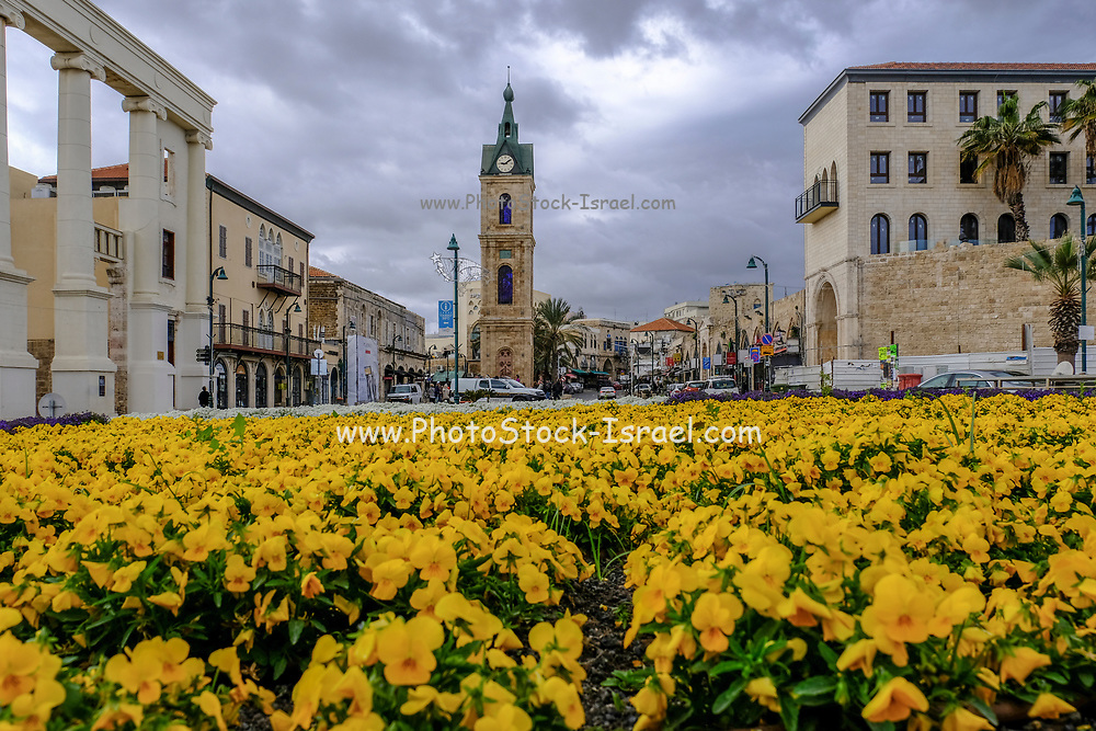 Israel, Jaffa, The Old clock tower in Jaffa, Clock Square, built in 1906 in honor of Sultan Abed al-Hamid II's 25th anniversary, became the center of Jaffa, yellow flowers in the foreground