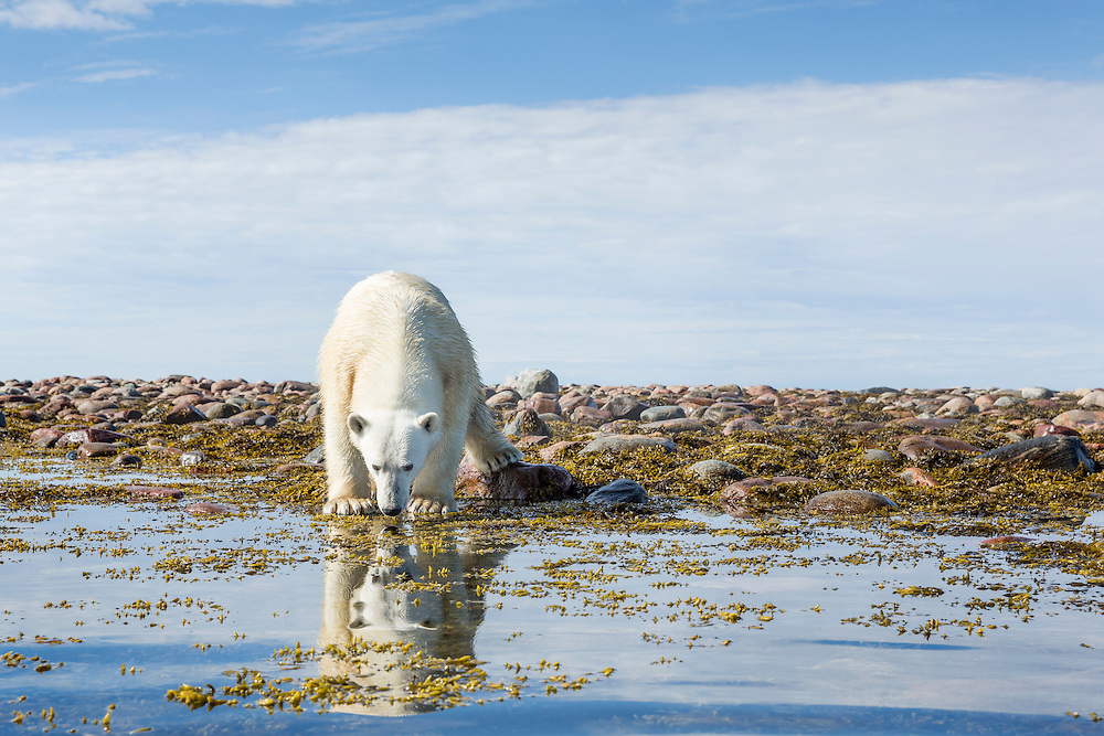 Canada, Nunavut Territory, Arviat, Polar Bear (Ursus maritimus) standing along rocky shoreline on Sentry Island along Hudson Bay