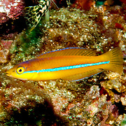 Yellowhead Wrasse consatantly swim about reefs in Tropical West Pacific; picture taken Tobago.