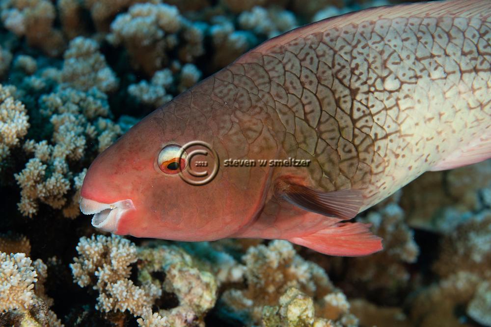 Redlip Parrotfish Female, Scarus rubroviolaceus, Bleeker, 1847, Molokini Crater, Hawaii