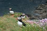 Atlantic puffins stand amidst grass and sea pink (Armeria maritima) atop the seaside cliffs of Staffa island, Scotland.