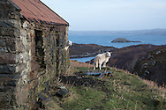 Two sheep stake claim to an abandoned house near Drumbeg in north west Scotland. Photograph copyright Andrew Tobin/tobinators.com