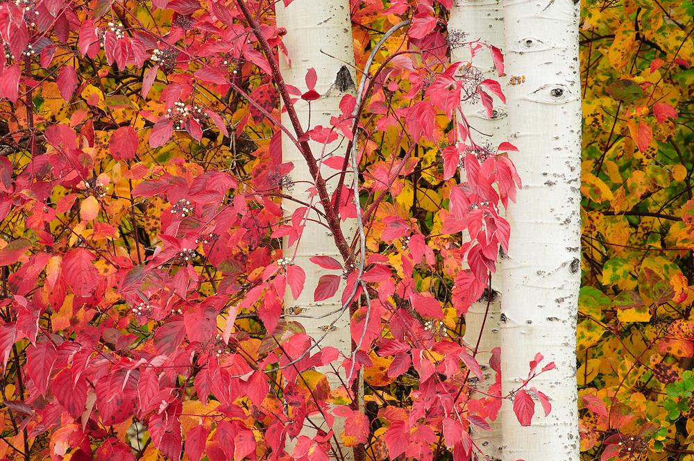 Red-osier dogwood and aspen tree trunks, Tumwater Canyon, Cascade Mountains, Washington.