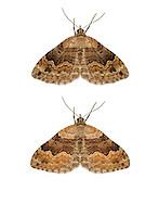 Large Twin-spot Carpet - Xanthorhoe quadrifasiata<br /> 70.055 (1726)