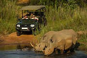 White rhinoceros (Ceratotherium simum) & tourist vehicle<br /> Marataba, A section of the National Park, <br /> SOUTH AFRICA<br /> RANGE: Southern & East Africa<br /> ENDANGERED SPECIES